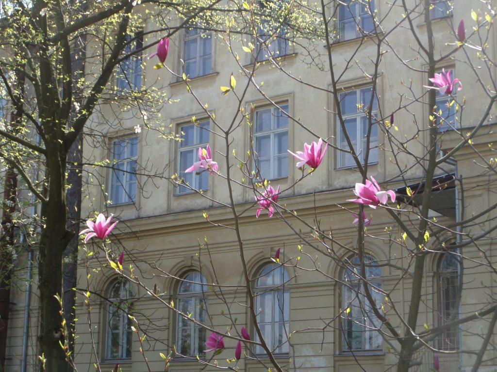 Botaniska Lviv magnolia